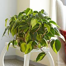 indoor vine plant indoor trees low light gardening guide