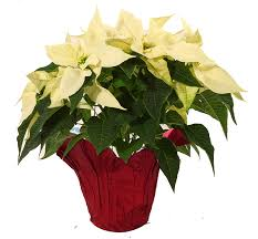 white poinsettia index of wp content uploads 2015 10