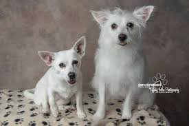 american eskimo dog edmonton adoptable dogs paws in need animal rescue