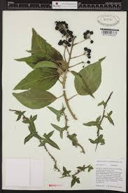 herbarium database burke museum