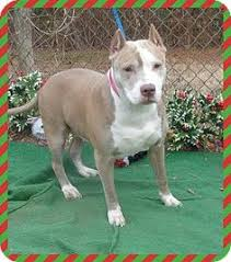 american pitbull terrier for sale in ohio pet not foundlorain oh staffordshire bull terrier mix meet