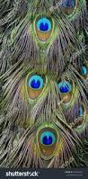 Beautiful Texture Beautiful Texture Indian Peacock Bird Feathers Stock Photo