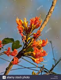 australian native plant seeds cluster of bright orange flowers of australian native black bean