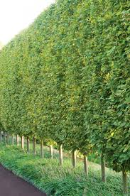 best australian native hedge plants 7 beautiful examples of pleaching kilby park tree farm
