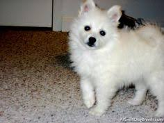 american eskimo dog varieties the american eskimo is a stunning small to medium size nordic
