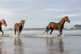 mustang horse running brown horses running on a beach stock photo dissolve