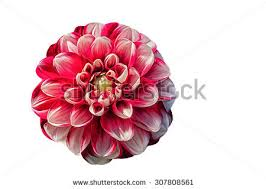 drawing oil painting dahlia flower on stock illustration 328471868