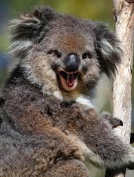 koala bear smiling animals happy animals animal and smiling