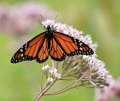 gardeners intentions are killing monarch butterflies d brief