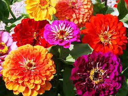 10 easy care plants for growing zinnia flowers easy plants for your landscape and