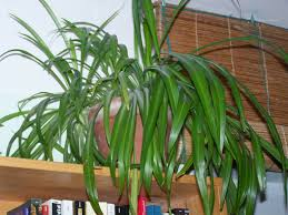 Spider Plant Super Stubborn Spider Plants Letters U0026 Leaves