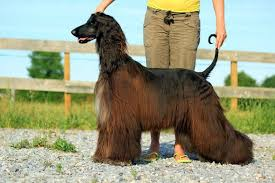 afghan hound breeders europe menuel galopin afghan hounds main news