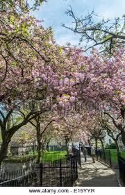 ornamental prunus cherry trees in blossom norwich