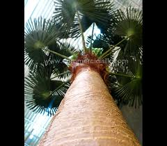 outdoor palm tree l outdoor artificial fan palm trees outdoor silk palm trees
