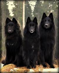 belgian sheepdog registry belgian sheepdog belgian sheepdog pinterest dog and animal