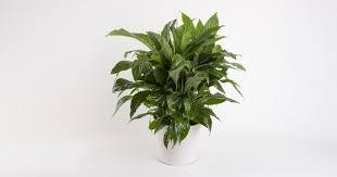 Peace Lily Plant This Is Why Peace Lily Is Best House Plant Plant Talk