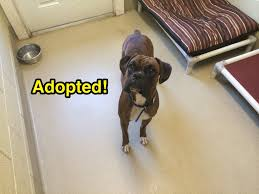 boxer dog rescue florida boxer dogs and cats forever inc