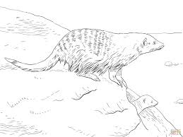 banded mongoose coloring page free printable coloring pages