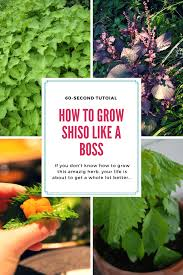 5 tips for growing shiso u0026 how to care for it sproutabl