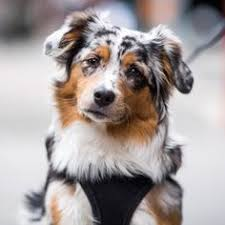 5 month old mini australian shepherd happy national dog day from cowpoke corner kennels we celebrated