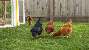 Backyard Chickens Magazine Raising Chickens Not Just For The Farm Anymore Angie U0027s List