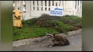 distemper spikes in santa cruz raccoons kion