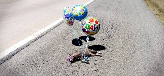 get well soon balloons same day delivery tying get well soon balloons to roadkill is boulder co s newest