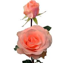 Bulk Roses The Comtesse Wholesale Peachy Pink Rose For Sale