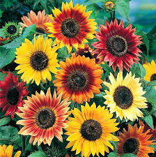 20pcs mix colors available sunflower seeds organic helianthus