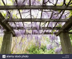 trellises of japanese wisteria in full bloom line a path in the