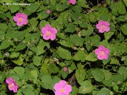 native plants of south texas texas native plant week u2013rock rose pavonia lasiopetala my