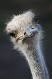G Stige U K Hen 64 Best Ostrich And Emu Images On Pinterest Emu Drawings And