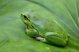 file hyla arborea european tree frog jpg wikimedia commons