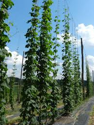local beer blog a hops industry grows in north carolina