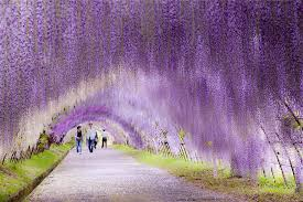 flower places wisteria flower tunnel in japan 20 unbelievably beautiful places