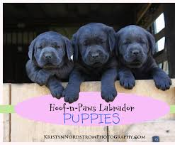 puppies for sale labrador puppies for sale