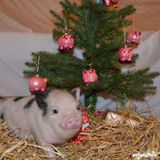 christmas pig 29 best baby tea cup pigs at christmas images on baby