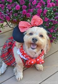 Halloween Costumes Yorkies Minnie Mouse Yourdesignerdog