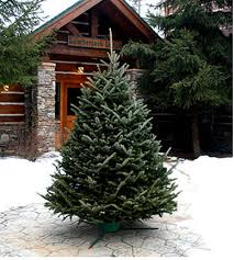 fraser fir christmas tree fresh cut fraser fir christmas tree only 42 50 shipped to your door