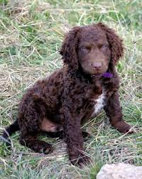dogs with curly hair and floppy ears murray river curly coated retriever breed information history