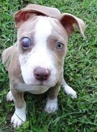 american pitbull terrier 7 months petango com u2013 meet coolie a terrier pit bull mix available for
