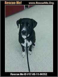 bluetick coonhound dander texas bluetick coonhound rescue u2015 adoptions u2015 rescueme org