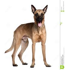 belgian shepherd vs rottweiler berger malinois 3 years old standing stock photos image 23087603
