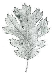 White Oak Leaf How To Draw An Oak Leaf On Stipple Paper John Muir Laws