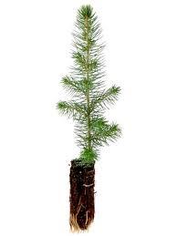 colorado spruce blue spruce tree seedlings treetime ca
