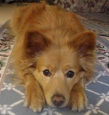 american eskimo dog tattoo 29 best eskimo pomeranian love images on pinterest animals