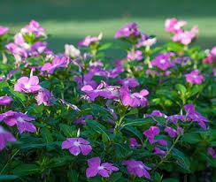 Vinca Flowers A Shopper U0027s Guide To Vinca Costa Farms