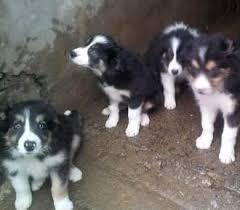 belgian shepherd for sale ireland border collie sale ireland border collie puppies buy buy border