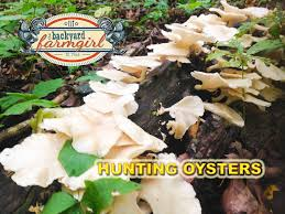 mushroom hunting for oysters in s missouri backyard farmgirl