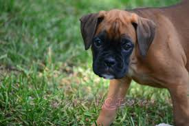 100 boxer dog 100 akc european boxer available for stud in hoobly classifieds